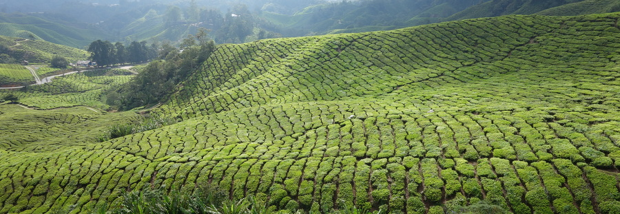 Cameron Highlands – 17 octobre 2013