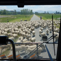 Manifestation de moutons !