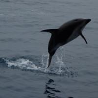 Saute petit dauphin !