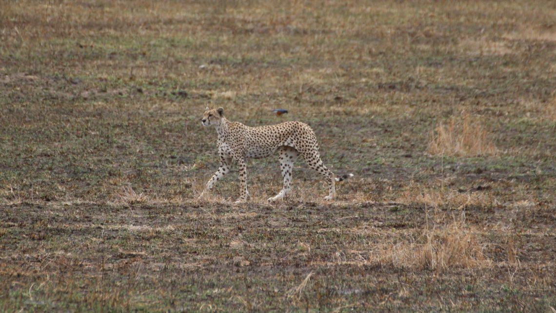 Serengeti – 23 et 24 novembre 2016